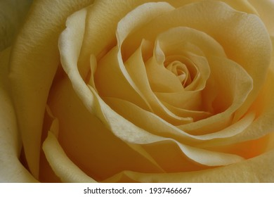 Yellow Rose Close up take with a macro lens in Studio under a soft light.