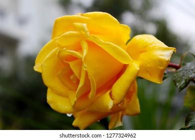 Yellow Rose. Closeup of a yellow rose bud, Beautiful flower