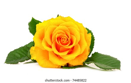 Yellow rose closeup isolated on white