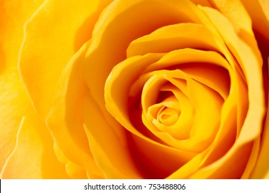 A yellow rose close-up. Petals close-up. Bright yellow background.