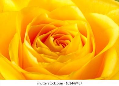 Yellow rose close-up. Top view