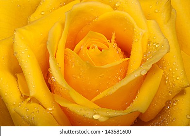 Yellow rose with drops of dew.