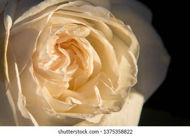 Yellow Rose - Flower - Delicate - Warm  Soft Petals - Biltmore Estate