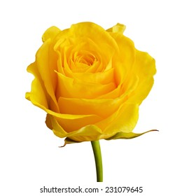 Yellow rose flower isolated on white