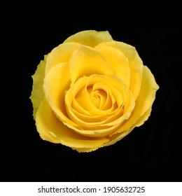 Yellow Rose Flower on Black Background
