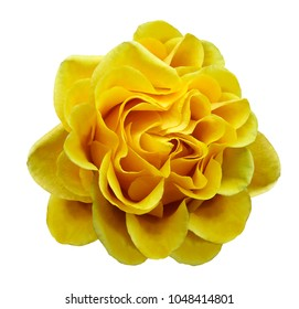 Yellow rose flower on a white isolated background with clipping path.Closeup no shadows. Nature.