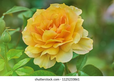 Yellow Rose Flower over the Green Background