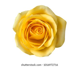Yellow roses images stock photos vectors shutterstock yellow rose flower top view isolated on white background clipping path included mightylinksfo