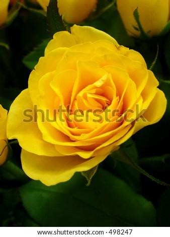 Yellow Rose Friendship Stock Photo Edit Now 498247 Shutterstock