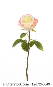 yellow rose isolated flower on white background