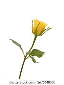 Yellow rose isolated on white background. Deep focus. No dust. No pollen.