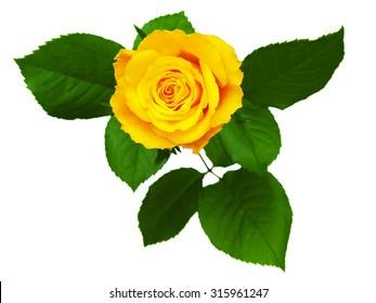 Yellow rose isolated on white background.