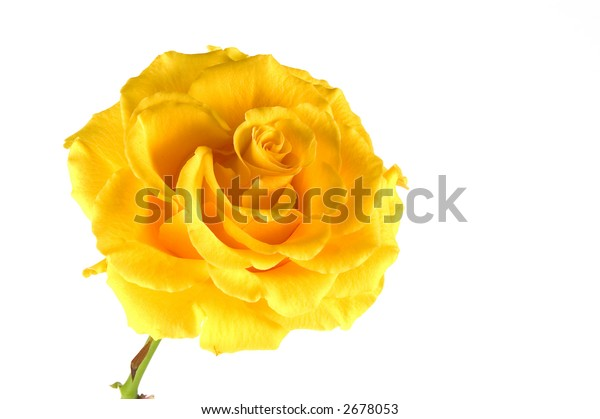 yellow rose isolated one a white background