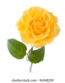 Yellow rose with leaves isolated on white background