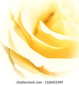 A yellow rose in macro