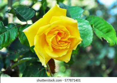 Yellow Rose in my farm.Abstract background of flowers. Close-up.