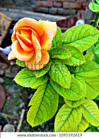 Yellow Rose Often Recognized Denote Friendship Stock Photo Edit Now