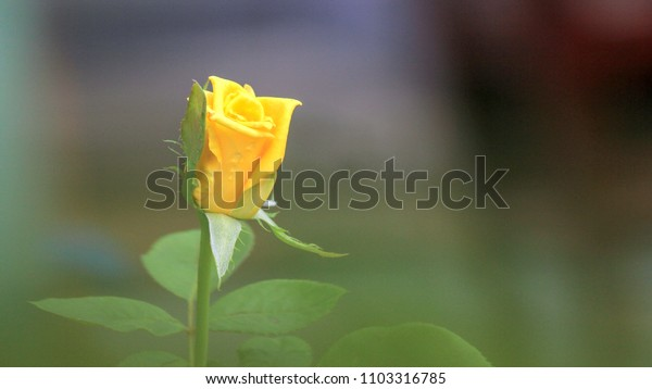 Yellow rose on blur background. Blank for space