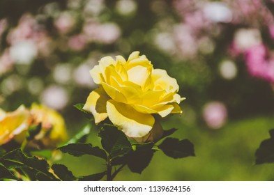 Yellow rose on blurred pink roses field, rose garden