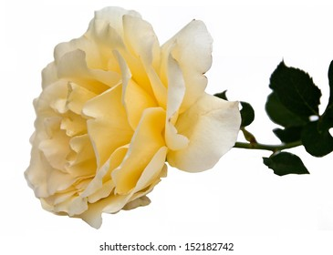 Yellow rose on a white background