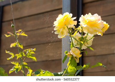 yellow rose on a wooden background