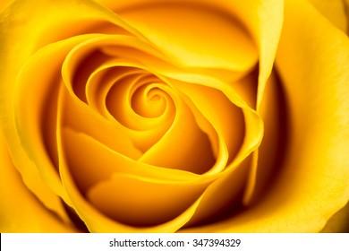 Yellow rose petals closeup. Yellow Rose.