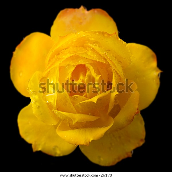 Yellow rose shown straight on as a symmetrical composition