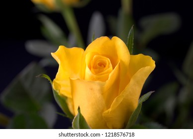 yellow rose a sign of love