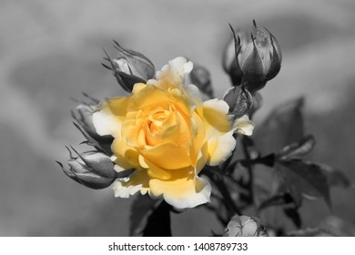 Yellow rose with small buds in ash background.