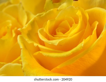 Yellow rose of texas images stock photos vectors shutterstock yellow rose of texas mightylinksfo