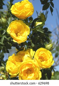 Yellow Rose of Texas.
