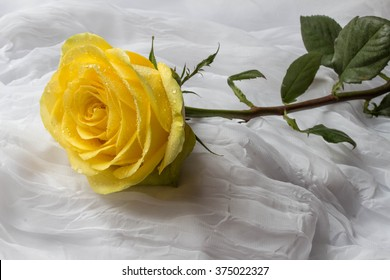 Yellow rose with water droplets - white background