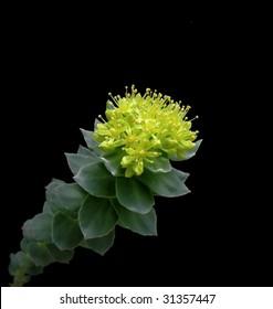 yellow roseroot - Rhodiola rosea