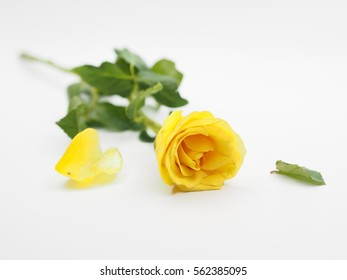 Watercolor Rose Tattoo Stock Photos Images Photography Shutterstock