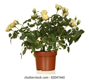 Yellow roses in a flowerpot isolated on a white background