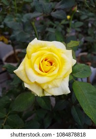 Yellow roses in the garden is ready for Valentine's Day