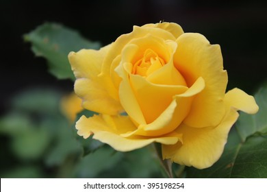 Yellow roses meaning Bright, cheerful and joyful create warm feelings and provide happiness. They bring you and the friendship you share the purist of colors, represent innocence, purity and charm.