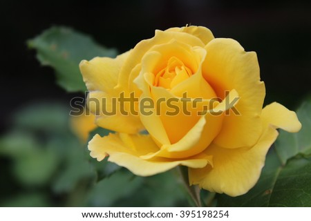 Yellow roses meaning bright cheerful joyful stock photo edit now yellow roses meaning bright cheerful and joyful create warm feelings and provide happiness they mightylinksfo
