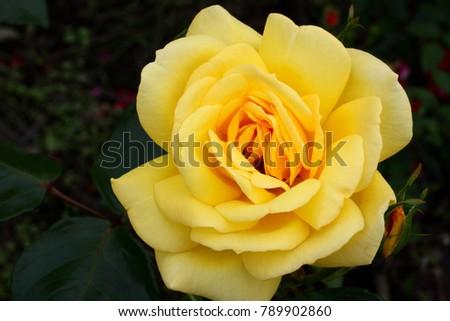 Yellow roses meaning bright cheerful joyful stock photo edit now yellow roses meaning bright cheerful and joyful create warm feelings and provide happiness they mightylinksfo