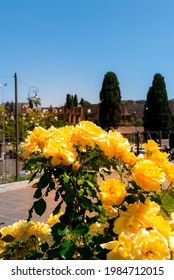 Yellow roses at the municipal rose garden in Rome