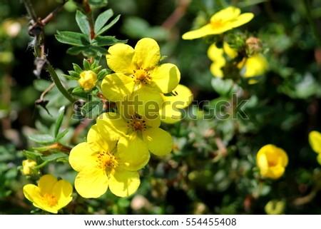 Yellow round five petals flowers dasiphora stock photo edit now yellow round five petals flowers of dasiphora fruticosa blossoms of shrubby cinquefoil mightylinksfo