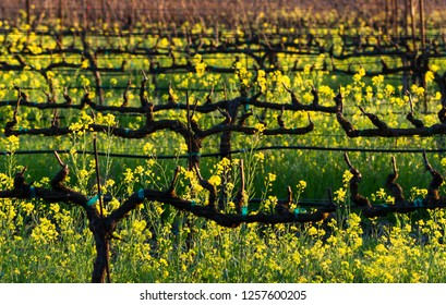 Yellow Rows - Bright yellow blossoms signal the arrival of mustard season. Sonoma County, California, USA