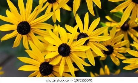 Yellow Rudbeckia (coneflowers, black-eyed-susans) flowers close-up