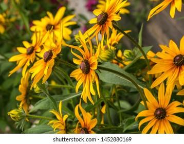 Yellow Rudbeckia coneflowers, black-eyed-susans flowers close-up. Rudbeckia in the garden.