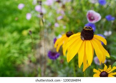 Yellow rudbeckia flower - Black Eyed Susan - with a gorse shield bug nymph in a colourful summer garden