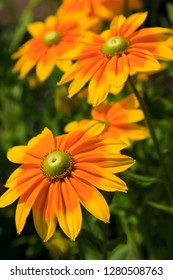 Yellow Rudbeckia Flowers Blooming in the Summer