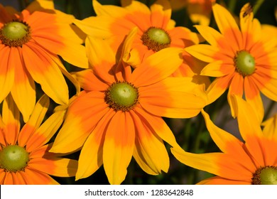 Yellow Rudbeckia Flowers Blooming in the Summertime