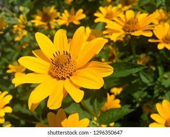 Yellow Rudbeckia flowers in the garden