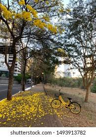 A yellow rug of Ipe flowers in Goiania, Goias, Brazil