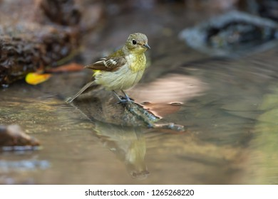Yellow rumped Flycatcher (Ficedula zanthopygia) female bird standing at puddle before drinking water in summer.  Yellow rumped Flycatcher at puddle.